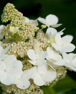 соцветие гортензии метельчатой