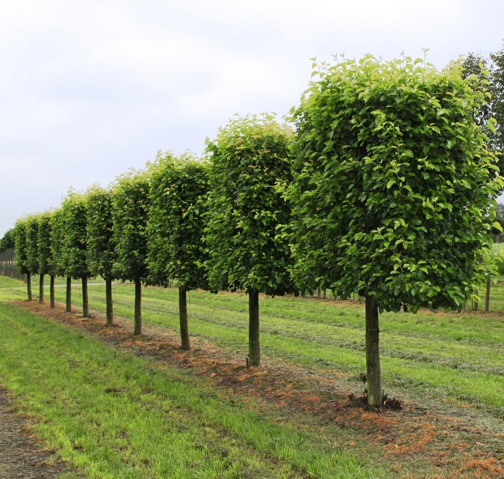 Дерево граб и его описание – свойства, где растет. Как выглядит дерево граб на фото