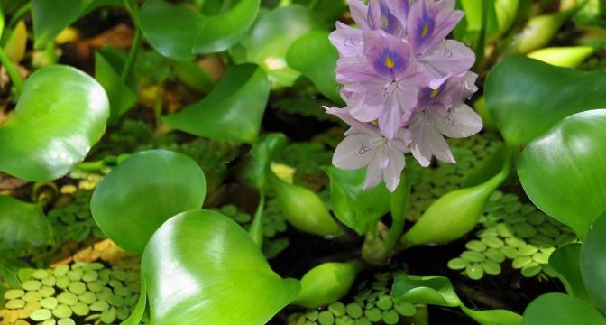 водный гиацинт