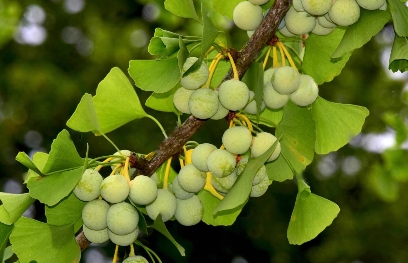Гинкго билоба: посадка и уход в саду