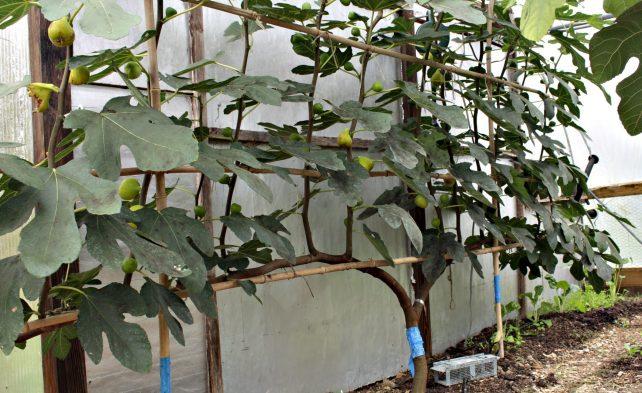 инжир уход и выращивание в открытом грунте