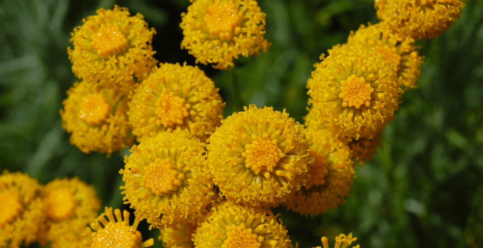 Сантолина — пышность и компактность в одном растении