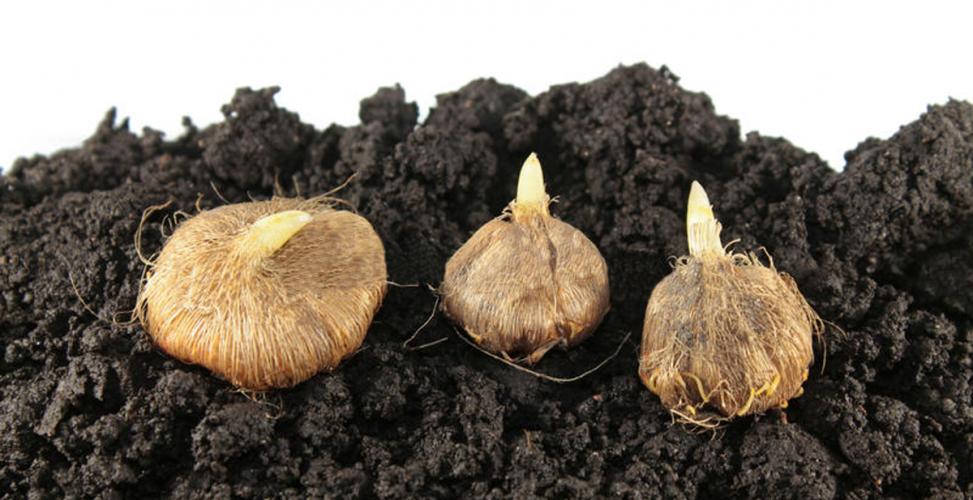Иксия фото луковицы