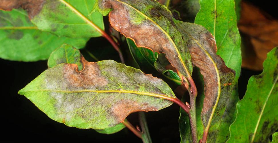 Листья лавра, поражённые мучнистой росой