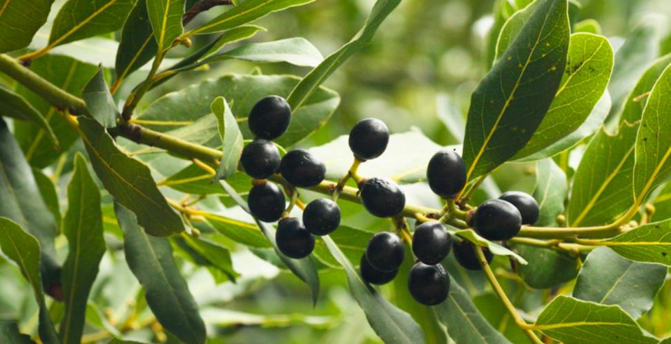 Плоды лавра