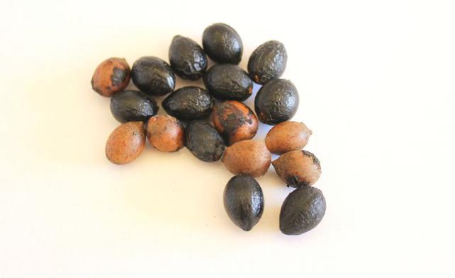 Семена лавра благородного