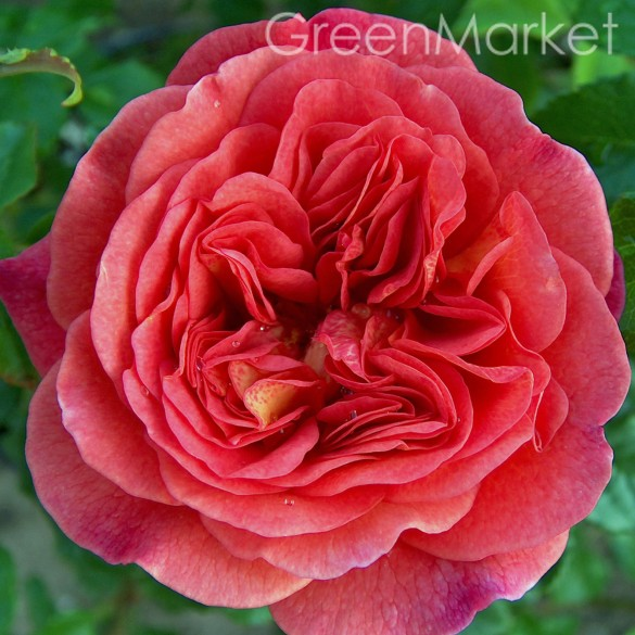Английские Christopher Marlowe Кристофер Марлоу GreenMarket