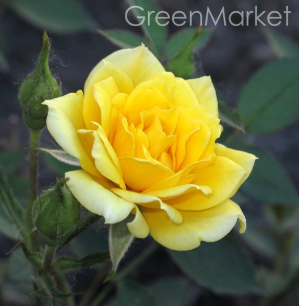 Миниатюрные Yellow Doll Елоу Дол GreenMarket