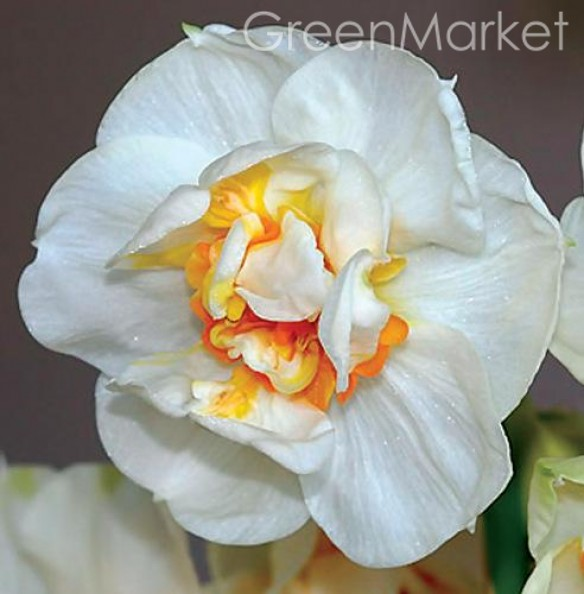 Нарциссы Bridal Crown (3 шт) Брайдел Краун GreenMarket
