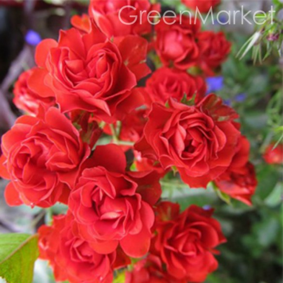 Шрабы Scarlet Meillandecor Скарлет Меян GreenMarket