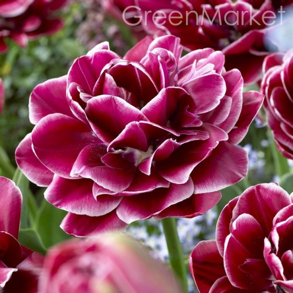 Тюльпаны Dream Touch (3 шт) Дрим Тач GreenMarket