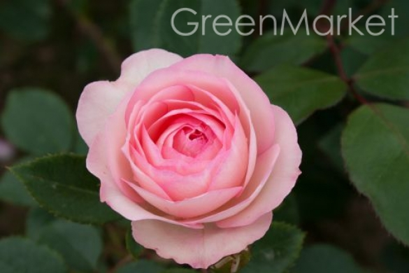 Плетистые Mini Eden Rose Мини Эден Роуз GreenMarket