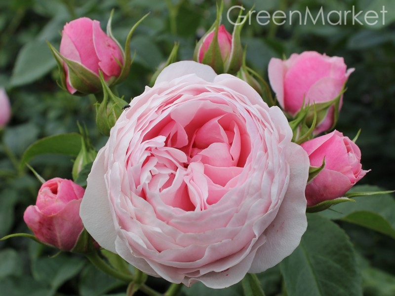 Флорибунда Hans Gonewein Rose Ханс Гоневейн Роуз GreenMarket