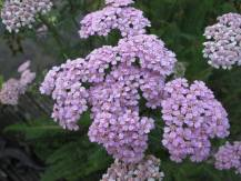 Тысячелистник Lilac Beauty GreenMarket